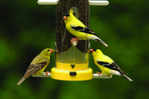 Attracting Goldfinches