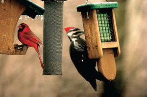 WBU Feeders with Cardinal and Pileated Woodpecker
